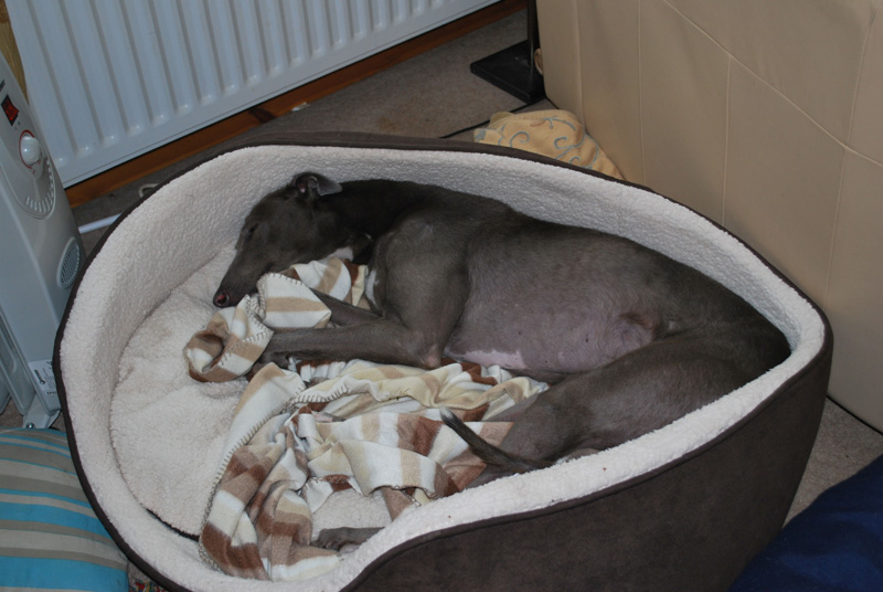 rgt south lakes, cumbria greyhound rescue - retired greyhounds