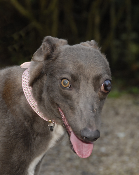 rgt south lakes cumbria greyhound rescue retired