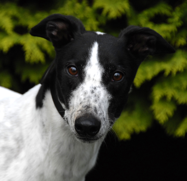 Dog Car Harness >> RGT South Lakes, Cumbria Greyhound Rescue - Retired ...